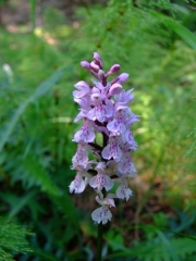 Wilde Orchidee Geflecktes Knabenkraut