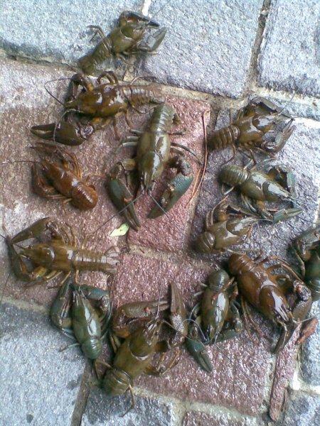Speisekrebse Astacus astacus