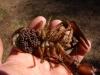 Eierpaket beim Edelkrebsweibchen Astacus astacus